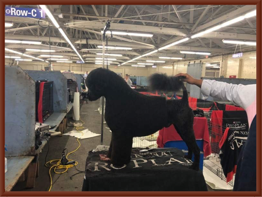 Bernie is Groomed Before the Westminster Show