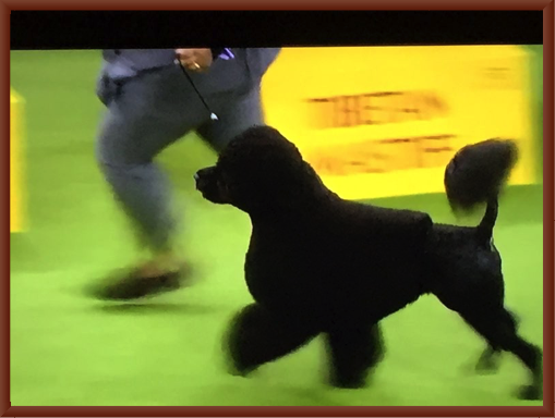 Bernie Struts His Stuff During the Westminster Show